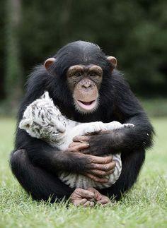 Chimpanzé e filhote do Tigre