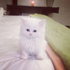 Kim Kardashian's Teacup Persian Mercy...Damn You Kim Kardashian, Now I Want a Teacup Kitten!!!