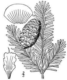 Abies fraseri She Balsam, Fraser fir, Southern Balsam Fir. CONDIMENT ... GUM .... TEA ... from plants!