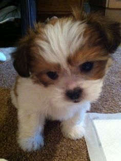 Mi Ki Puppies Images Dogs