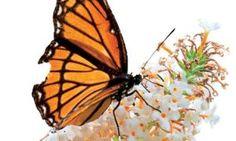 Monarch on 'White Profusion' Buddleia