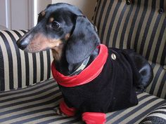 Harry the dachshund in a dinner jacket