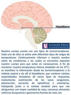 Termorreceptores. - Asociación Educar - Ciencias y Neurociencias aplicadas al Desarrollo Humano - www.asociacioneducar.com