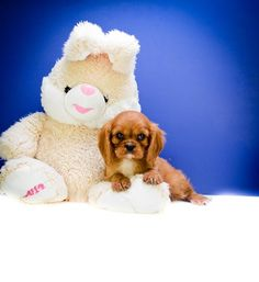 Cavalier King Charles Spaniel puppies for adoption in Ohio - at the largest breeder, Affordable Pup.