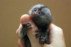 Marmoset monkey by floridapfe, via Flickr