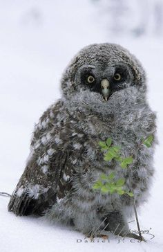Great- gray owl chick