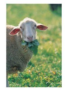Art Print: Sheep Look : 40x30in