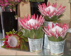 Protea Art, Protea Flower, Protea Wedding, Wedding Table Flowers, Rare Flowers, Beautiful Flowers, Protea Centerpiece, Centerpieces, South African Flowers