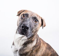 Danta - URGENT - Dekalb County Animal Shelter in Decatur, Georgia - ADOPT OR FOSTER - 6 year old Female Am. Pit Bull Mix - Danta has stolen our hearts. This mellow six year old girl greets everyone she meets with happy tail wags and tons of love. She is a petite 42 pounds. Danta can't wait to be yours! Her adoption includes her spay, microchip, vaccinations, and more!