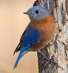 Eastern bluebirds prefer an open habitat with sparse groundcover (such as orchards, parks, and large lawns). Eastern bluebird nests are found in tree cavities and snags, and in nest boxes