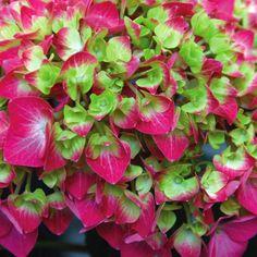 Garden Shrubs, Shade Garden, Garden Plants, House Plants, Sun Garden, Potager Garden, Dried Flower Arrangements, Dried Flowers, Cut Flowers