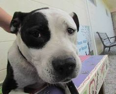 """""""""""""""""""RED Light CRITICAL"""""""""""""""" Available NOW ***FREE Spay for Adopters**** Vera (Pet ID: 12609) Pit Bull Terrier: An adoptable dog in Nashville, NC Large • Adult • Female   Nash County Animal Control Shelter, Nashville, NC      (252) 459-9855"""