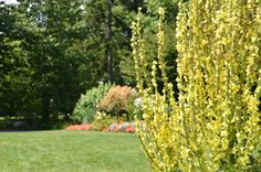 Verbascum 'Christo's Yellow Lightning' (Mullein) on the Cleaver Event Lawn at Coastal Maine Botanical Gardens.