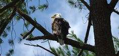 Eagle Watching in the Pocono Mountains