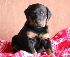 Spike   Doberman Pinscher Mix, Lab Mix Puppy For Sale   Keystone Puppies Doberman Puppy Red, Red Doberman Pinscher, Lab Mix Puppies, Puppies For Sale, Children, Dogs, Cute, Animals, Young Children