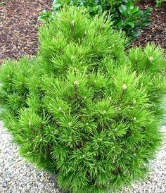 """PINUS MUGO """"HESSE""""   карликовий сорт подушковидної форми, висотою до 0,5м. і діаметром до 1,5м. Хвоя темно-зелена, довжиною 5-7см. Засухостійка. Добре росте на бідних грунтах і на сонячному місці."""