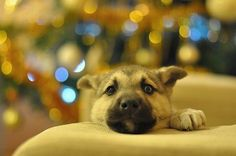 fot. Milena Zosiuk #dog #christmastree #couch