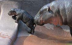 Pygmy hippopotamus mother gives her newborn calf a bit of a push