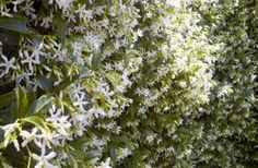 Star jasmine is known for its white flowers and fragrance. Detailed planting instructions, zone 7/8-10 Cover the fences?