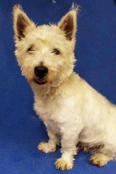 Meet ADOPTED!!!   Alias, a Petfinder adoptable West Highland White Terrier Westie Dog | Plainfield, IL | Alias is a nice male West Highland Terrier (Westie).  He is about 6 years old and is hoping for a...
