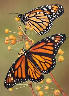 monarch-butterflies2.jpg (288×400)