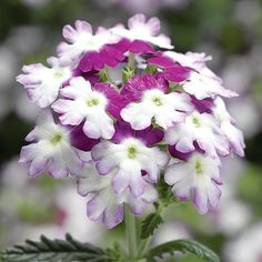 Verbena Obsession Twister Purple