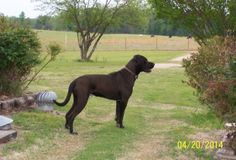 Great Dane and mastiff mix on Pinterest | Mastiff Mix ...