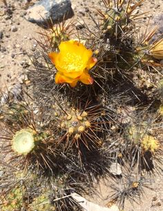 Yellow. Cactus. Desert.