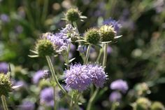 Succisa pratensis – blauwe knoop, vaste plant die .30-.90 hoog kan worden. Is een laatbloeier(paars-blauw) juli- spet/okt. Nectarplant voor vlinder-bij-hommel-zweefvlieg.Houd van zon en een vochtige plek. Jonge scheuten zijn eetbaar in salade bijv.