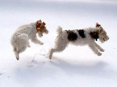 Fox terriers in the snow