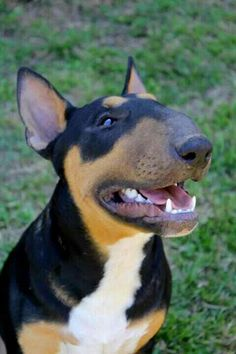 Beautiful bull terrier!!!!