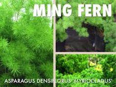 Ming Fern Seeds - Asparagus-myriocladus(20 Seeds) Rare ornamental asparagus.Makes Great indoor plants.
