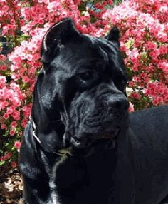 Cane Coso  Looking like my Maceo in black