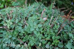 Growing Herbs – Oregano. How to plant, grow and care for oregano in your kitchen garden