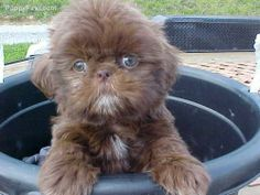 Shih Tzu Pictures (hts6588n1t2)