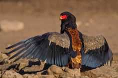 Bateleur - The Bateleur (Terathopius ecaudatus) eagle is the most famous of the snake eagles. This adult Bateleur was busy sunbathing at Cubitjie Quap, Nossob in the Kgalagadi, South Africa.