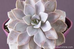 Purple Graptoveria