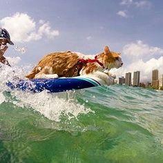 @kulithesurfingcat curte uma boa onda com sua dona! Pode um gato caolho pegando onda, nadando isso é superação! #kulithesurfingcat #surf #verao16 #superacao #studiorossolove
