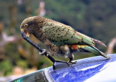 The New Zealand bird, the kea, New Zealand Kea by mikebottomley