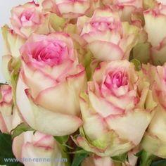 Rosen aus Ecuador - Rose Esperance - 20 Stück