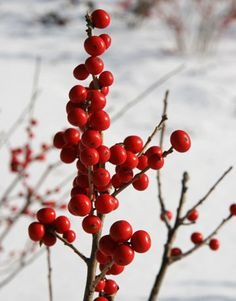 red winter berries