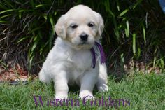 Wisteria Goldens | Zoey Litter Purple Girl – Outgoing, confident girl with upper mid-range energy. She loves people and is affectionate. She weighs 7.0 lbs - Zoey/Thor: Born 4/4 - 6 females and 4 males. 2nd pick female & 3rd pick male available. http://wisteriagoldens.com/english-cream-golden-retriever-puppies-for-sale-zoey-litter/