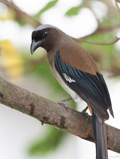 Grey Treepie (Dendrocitta formosae) found in the foothills of the Himalayas in South Asia, Indo China and Mainland China