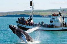Watching a humpback breach © North Sailing