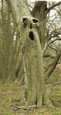 Calling all tree people! Weird Trees, Spooky Trees, Photo Post Mortem, Tree People, Tree Faces, Tree Carving, Unique Trees, Old Trees, Tree Sculpture