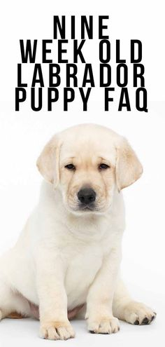 Life with a 9 week old puppy. What to expect from your puppy, daily schedules and care tips, and our 9 week old Labrador puppy video. Labrador Puppy Training, Labrador Puppies, Labrador Retrievers, Puppy Schedule, Black Lab Puppies, Dog Owners, Dog Life, Fur Babies, Pets