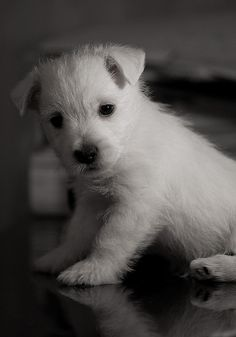 Westie puppy!!:) I so need another one for Odie!!