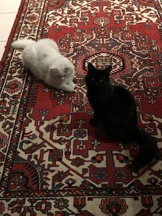 Pepper & Lulu Pose on My Favorite Persian Rug Pretty Cats, Beautiful Cats, Dry Leaf Art, Cute Cats Photos, Islamic Art, Cute Baby Animals, Persian Rug, Kittens Cutest, Pet Birds