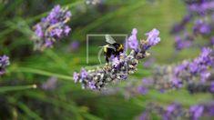 Hummel auf Lavendel Plants, Animal Themes, Lavender, Canvas, Animales, Plant, Planets