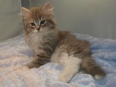 11 week old Siberian cat  Shadowlawn Blue Mackeral Tabby with white, my new baby.